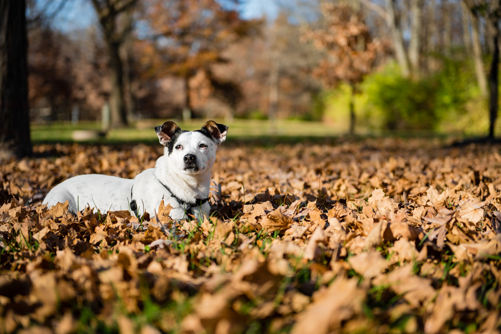 dog leafs loud thunder forest preserve terrier fall