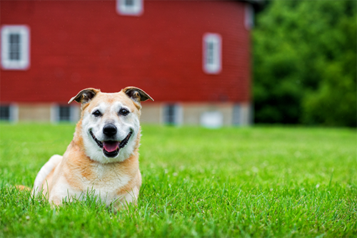 senior-dog-barn-smile-grass