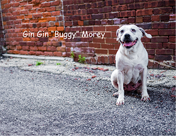 senior-pitbull-bricks-alley