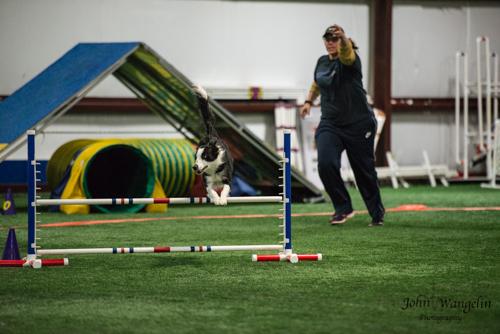 dog-collie-agility-jump