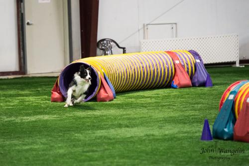 dog-agility-tube-collie