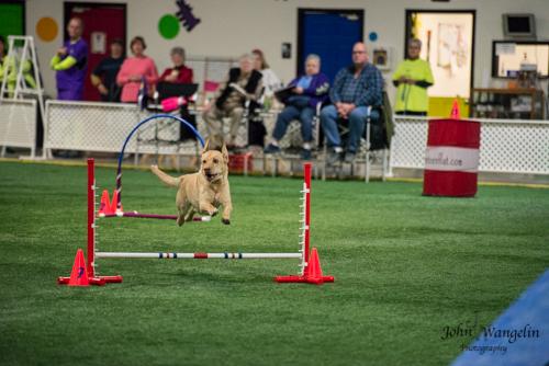 dog-jump-lab-agility