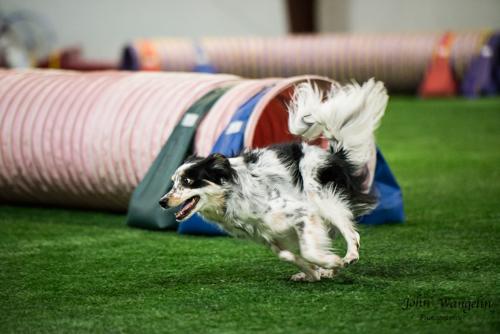 collie-tube-dog-agility