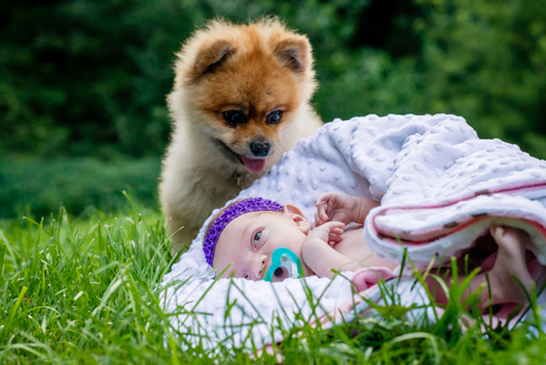 dog-baby-pomeranian