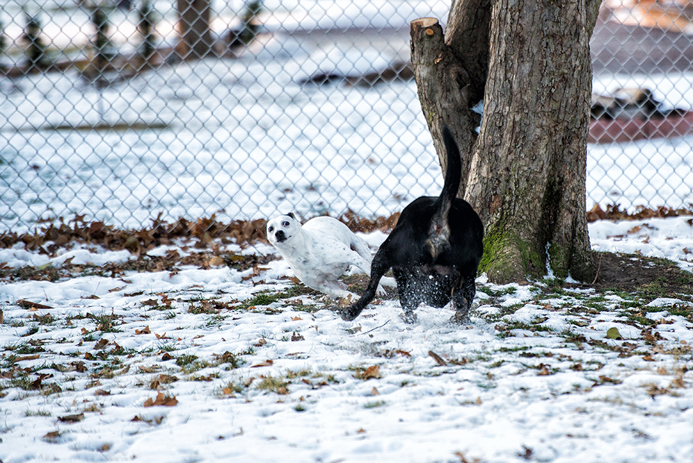 dogs-chasing-snow-terrier-lab