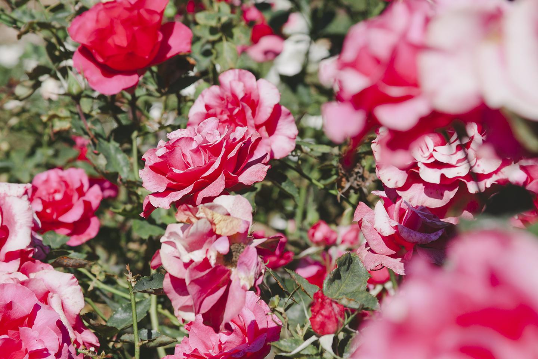 Berkeley Rose Garden from the Print Club Ltd. Journal