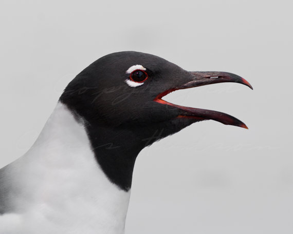 """""""Laughing Gull"""" by Simply Natural Photos"""