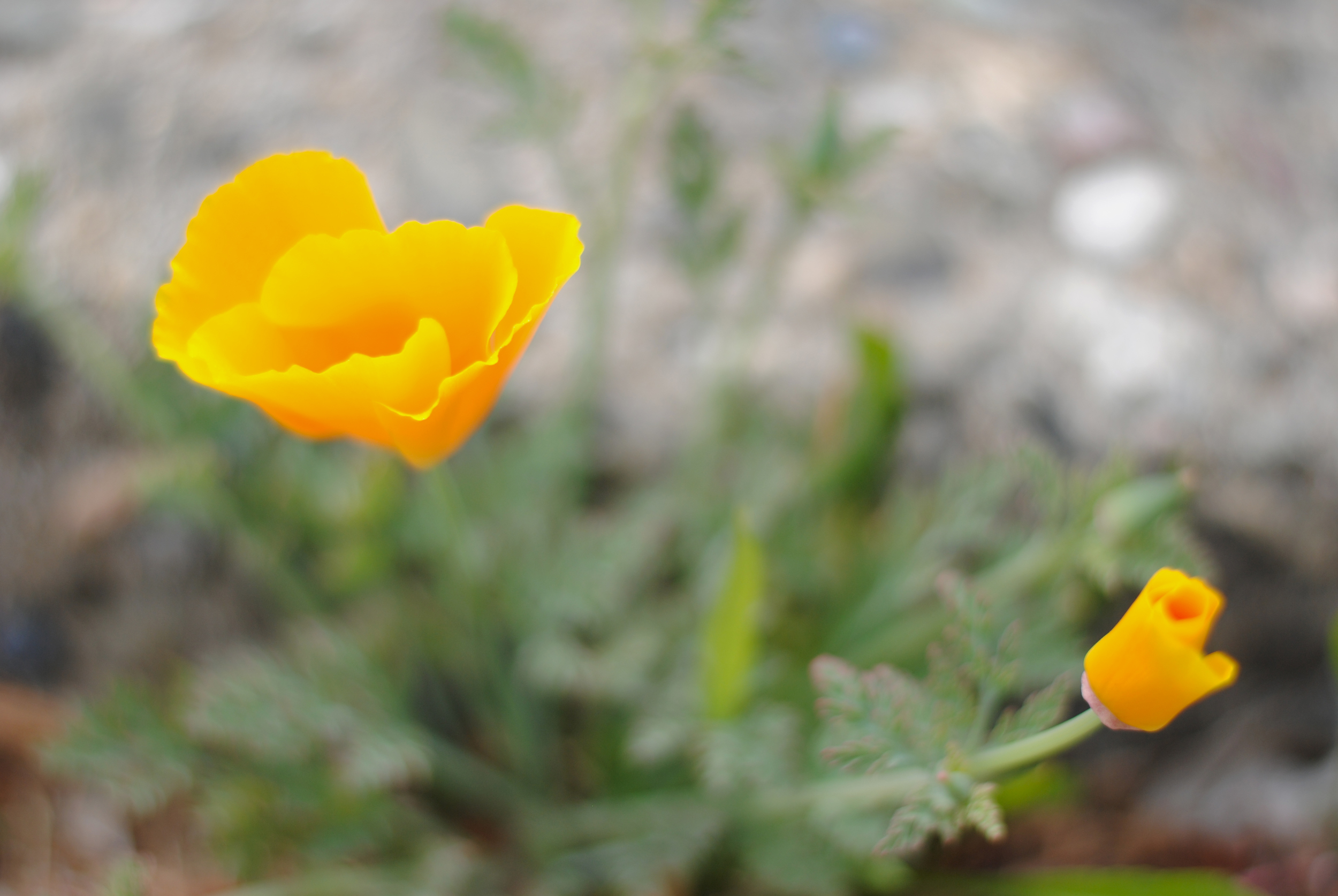 To start: a first image from my cross-country (San Francisco to New Orleans) road trip. Fittingly, it's a California poppy.