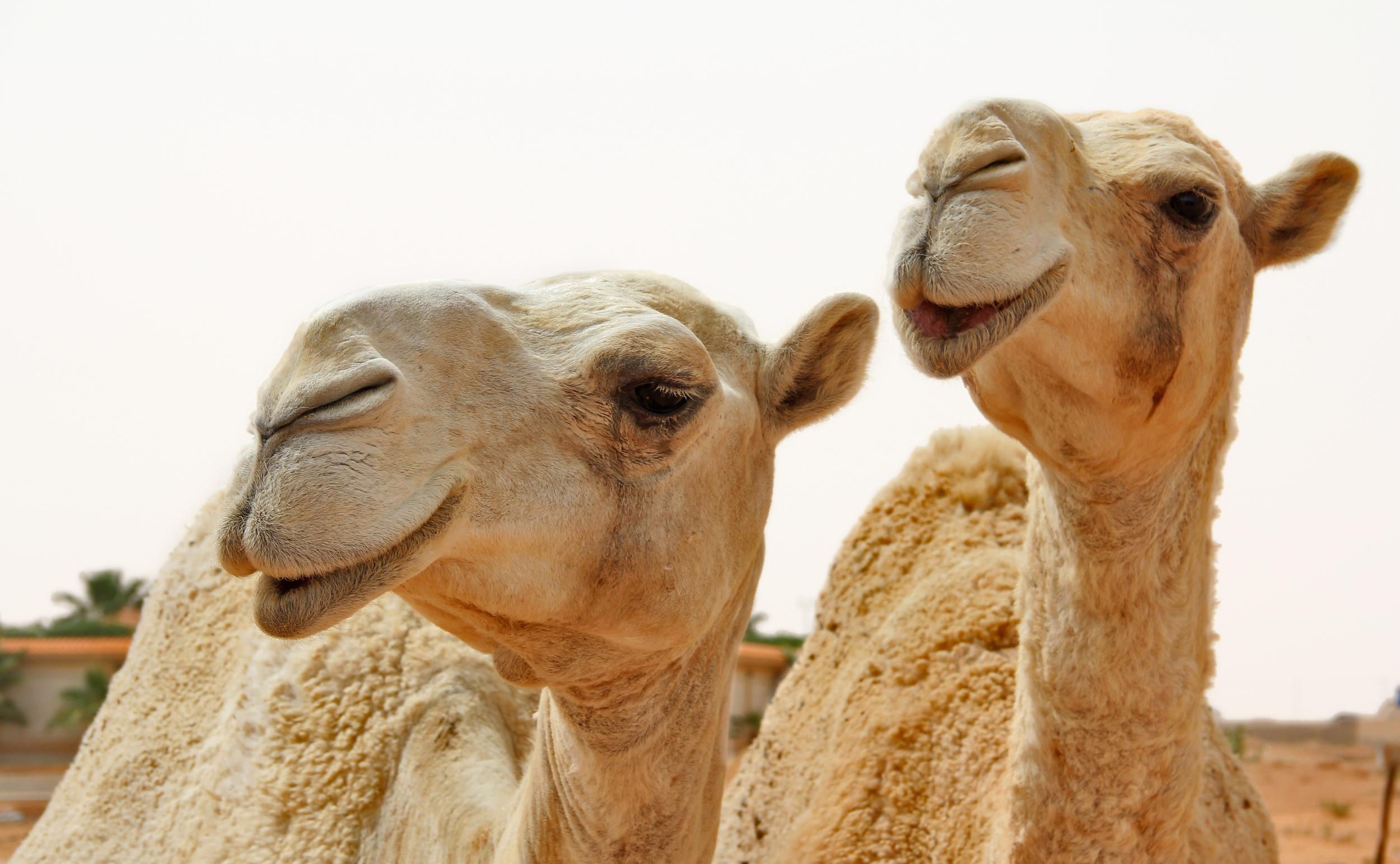 saudi camel 1.jpg