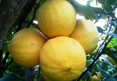 Bergamot from Calabria, Italy