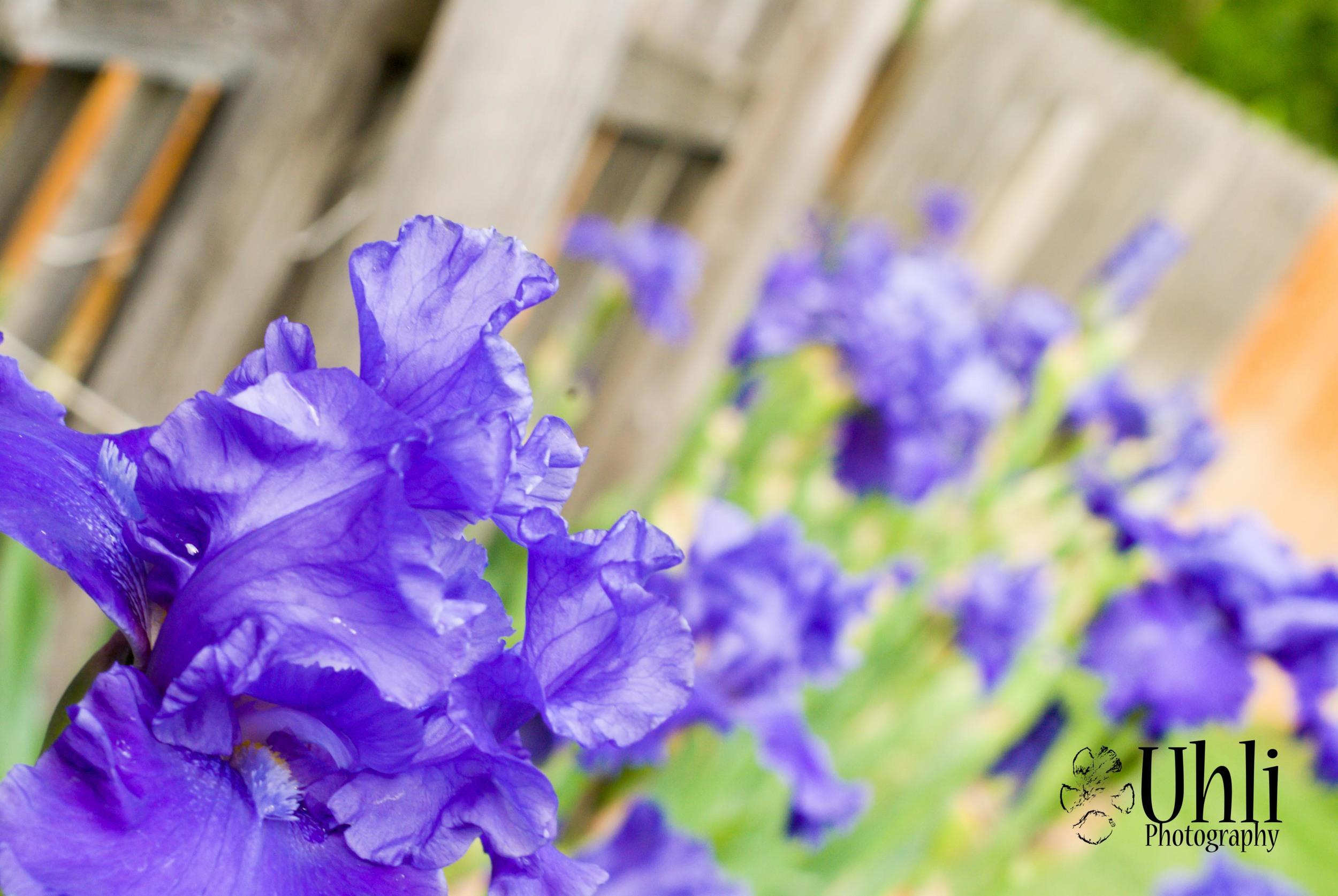 6.5.13 - Neighborhood Irises, they add a splash of color