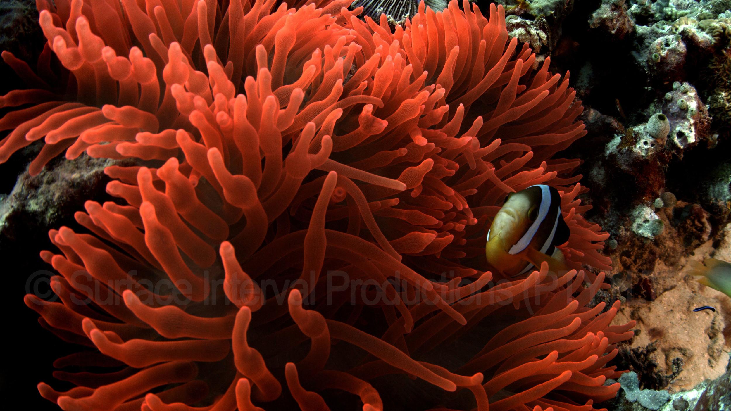 Anemony Red.jpg