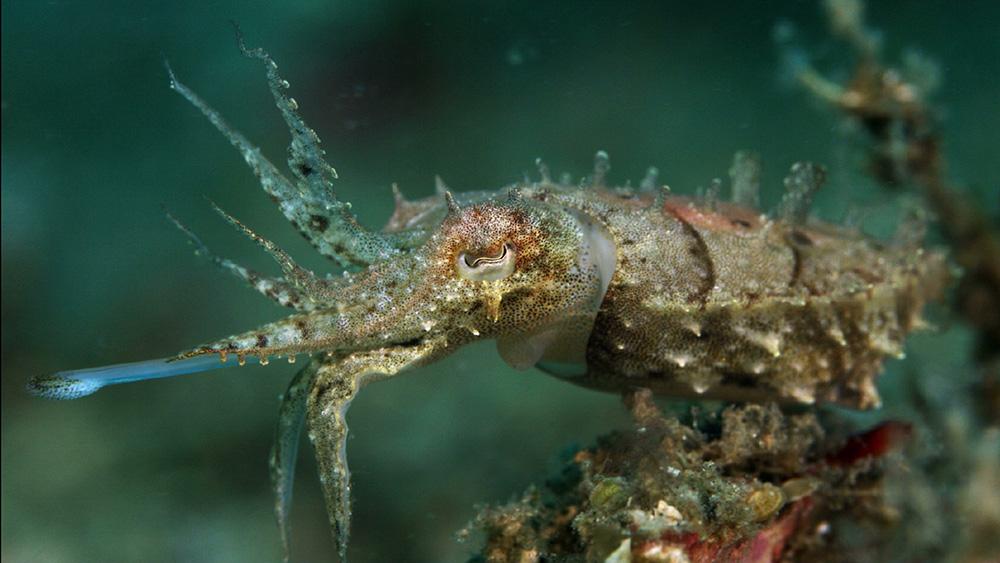 Cuttlefish toung.jpg