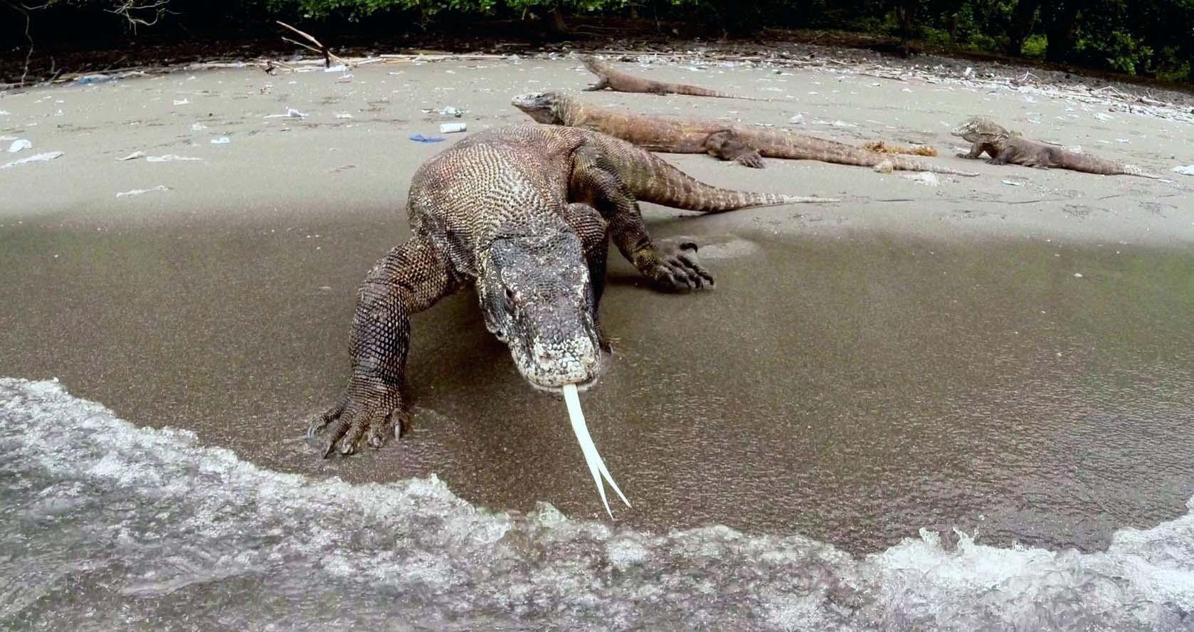 Komodo Dragon on beach from boat into camera Litter 2.7K GoPro 25p 24 3 14-01-1453.jpg