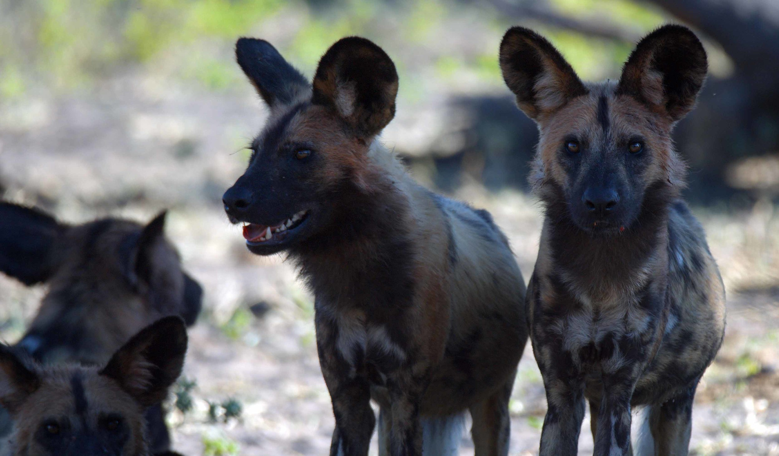 Wild Dogs.jpg
