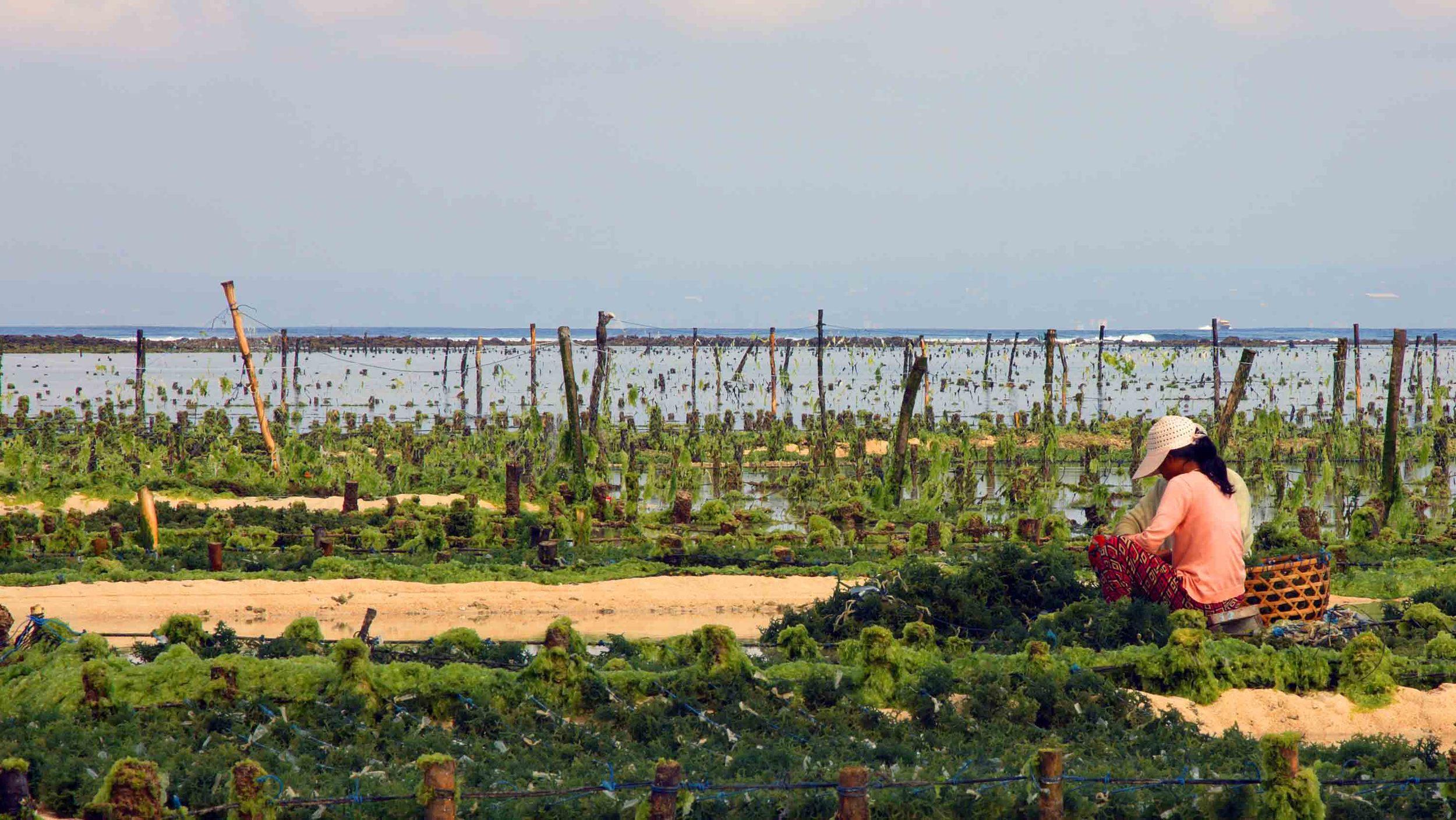 Ladies Farming seaweed 01.jpg
