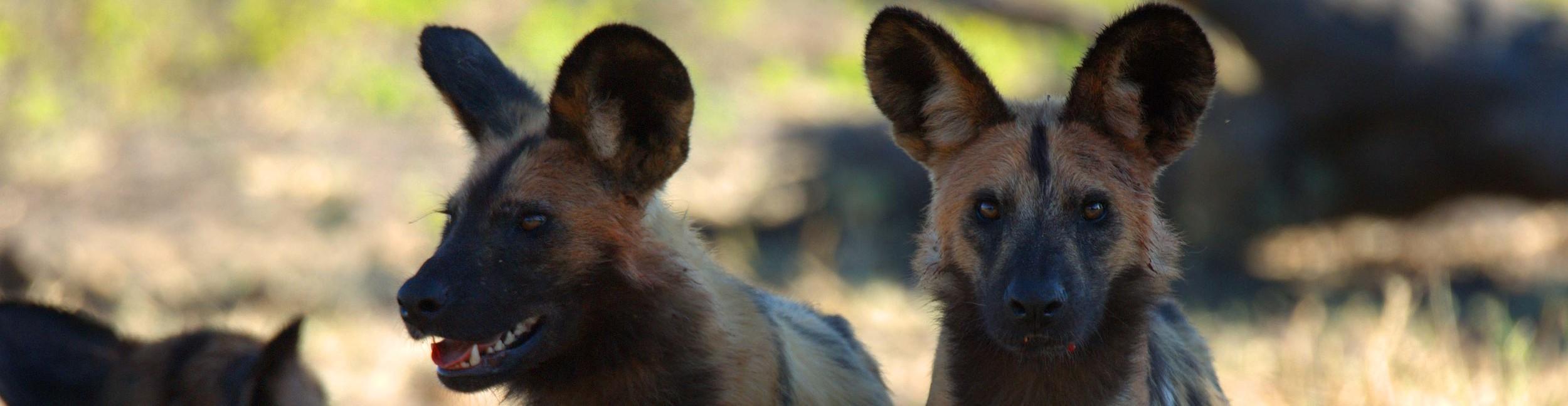 Botswana Banner strip Wild Dogs.jpg