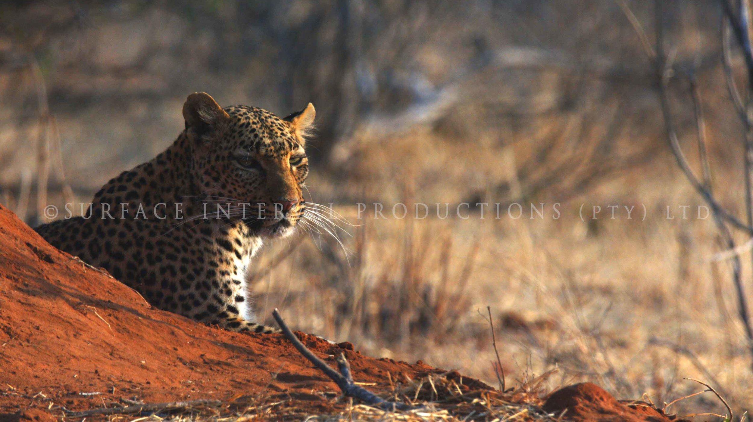 Leopard 011s.jpg
