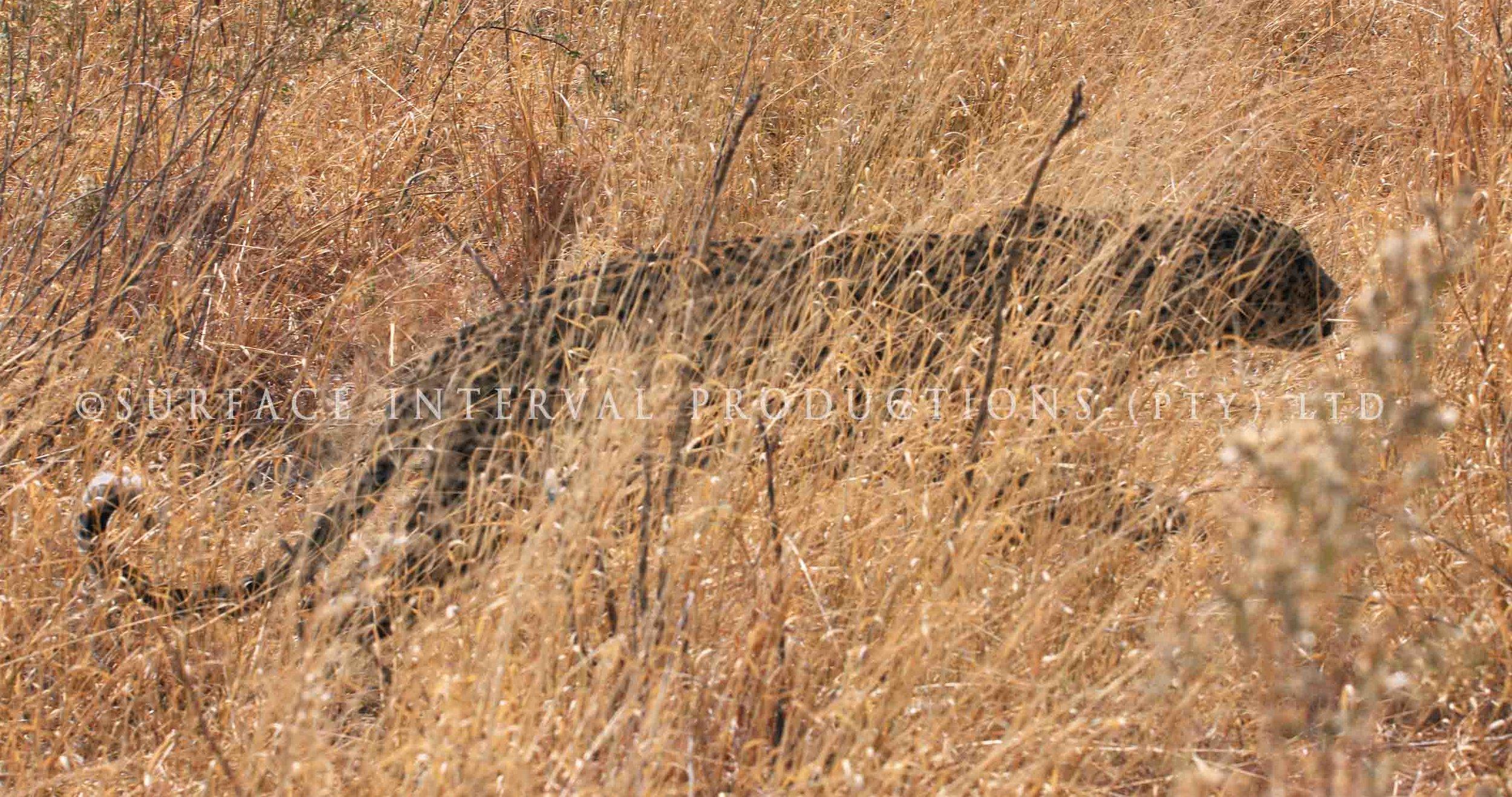 Leopard 023s.jpg