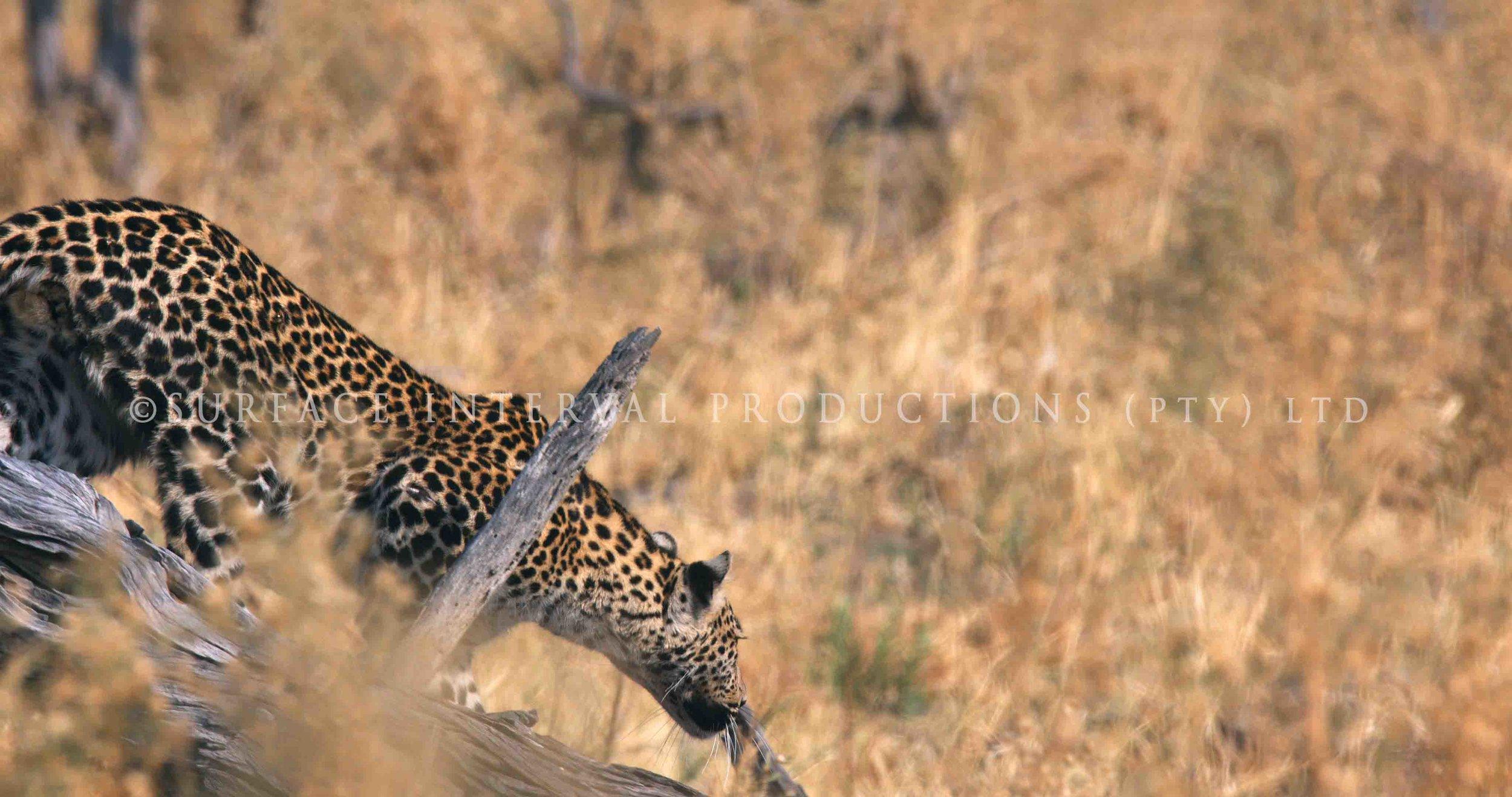 Leopard 022s.jpg