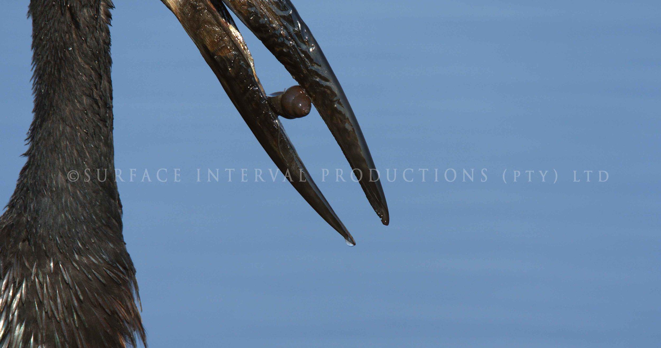 Openbill stork 003s.jpg