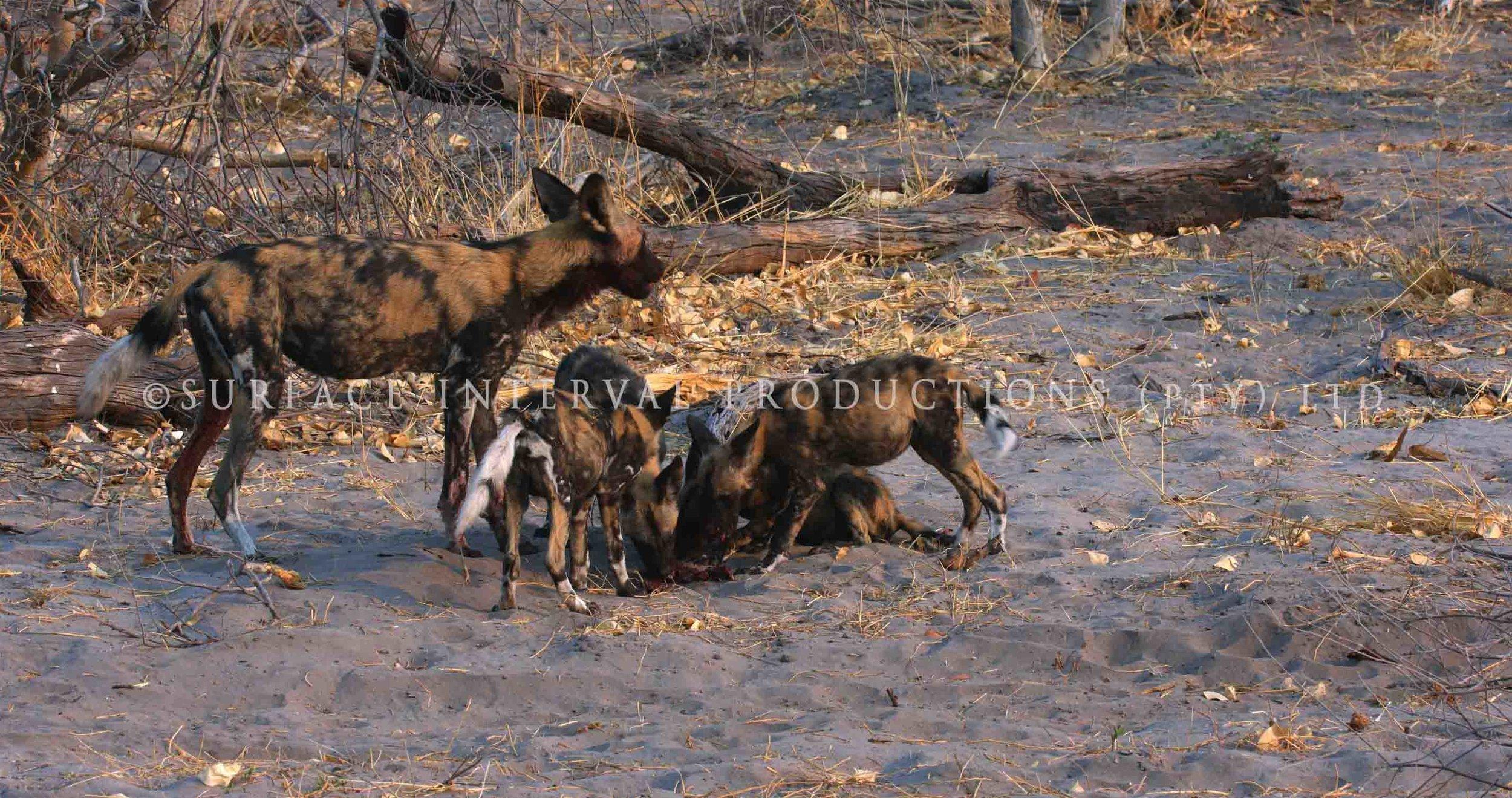 Wild Dogs 001ss.jpg