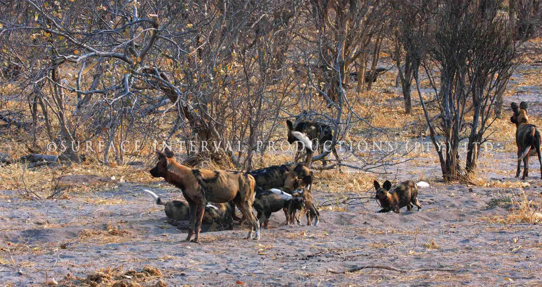 Wild Dogs 005ss.jpg