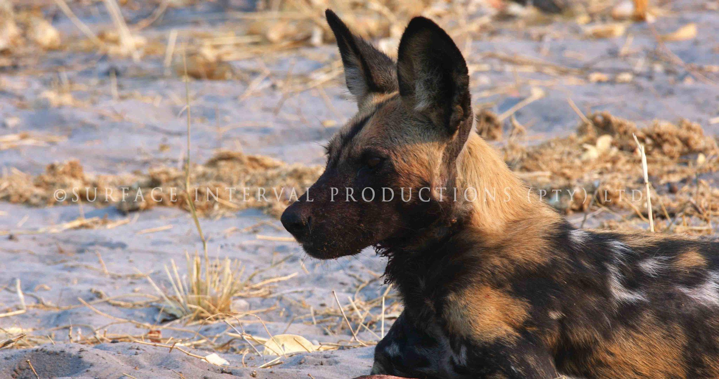 Wild Dogs 004s.jpg
