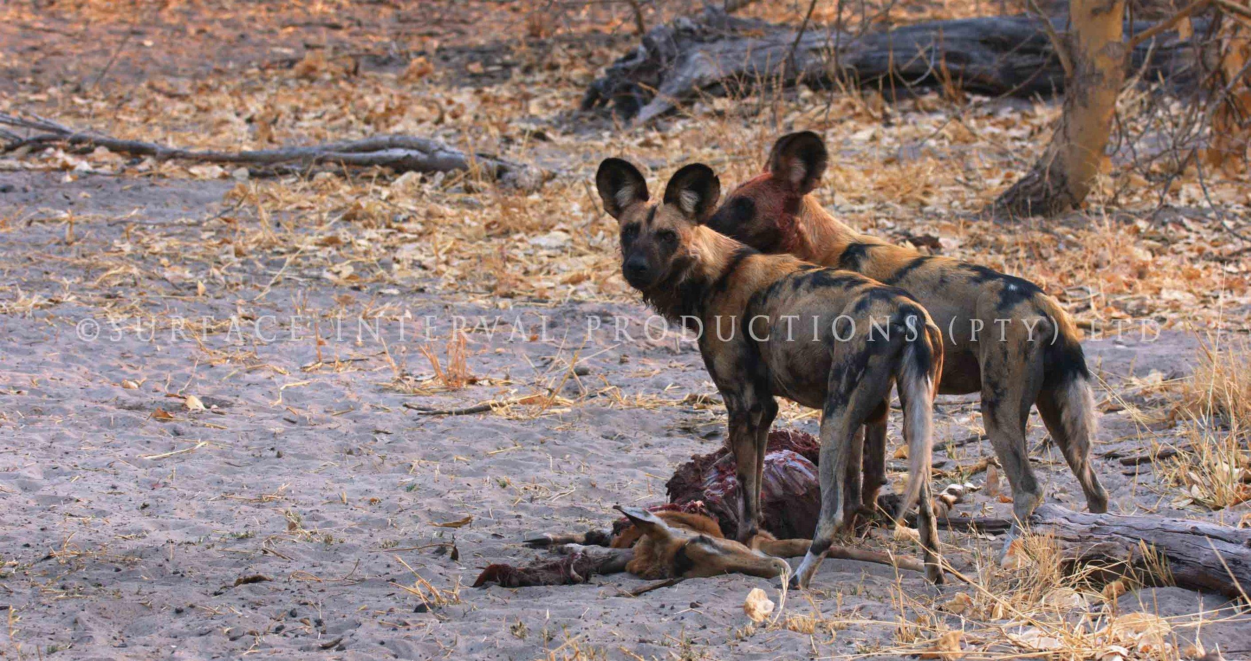 Wild Dogs 010s.jpg
