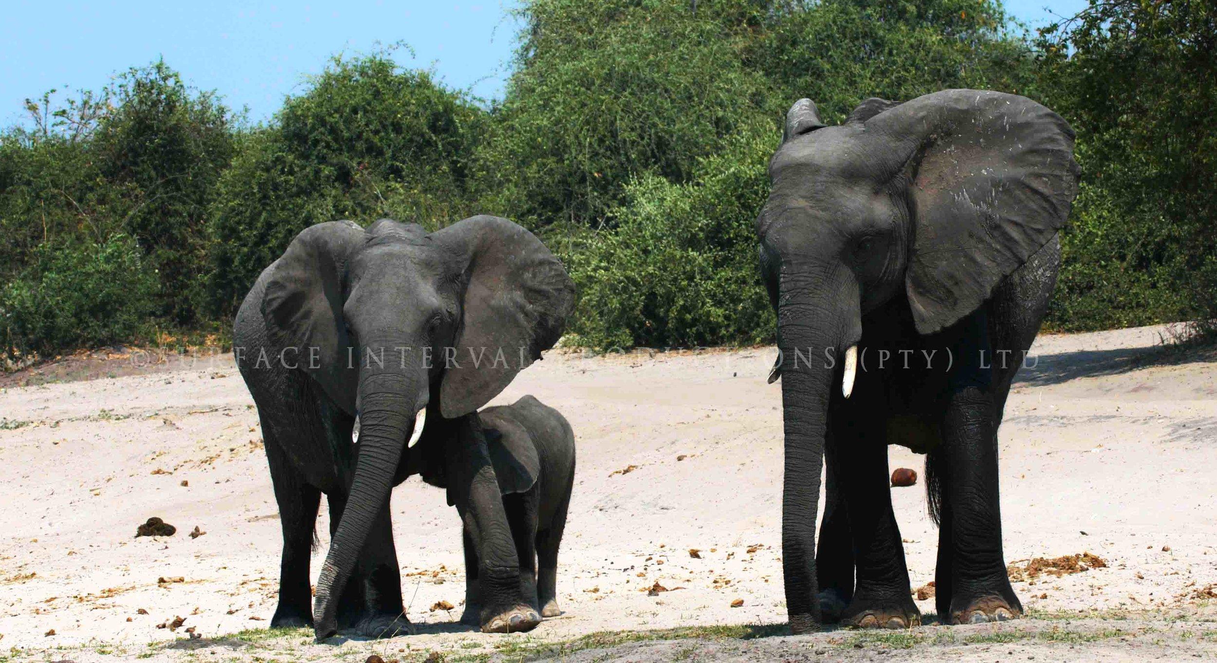 Elephant 002s.jpg