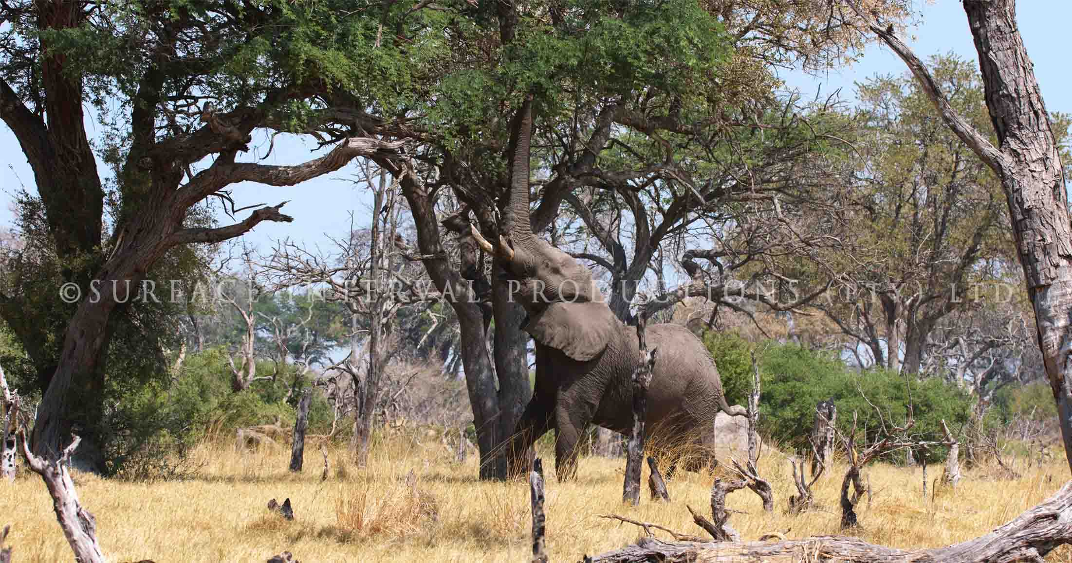 Elephant 007s.jpg