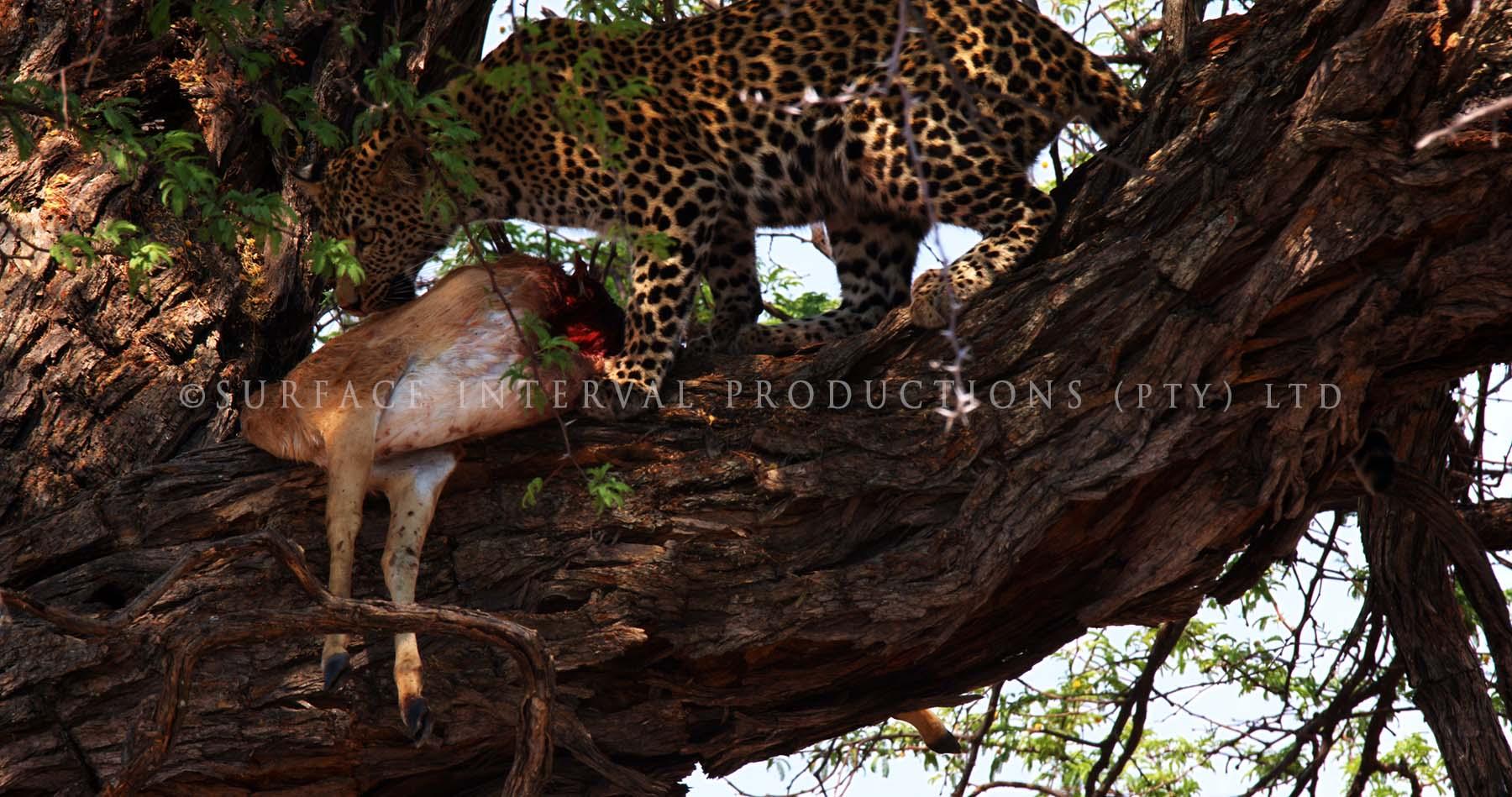 Leopard 010s.jpg