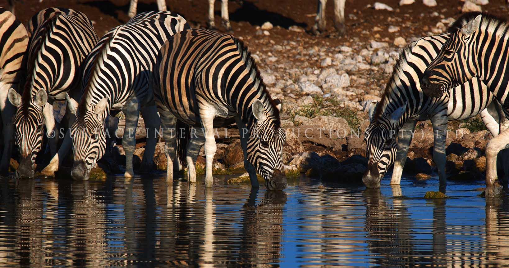 Zebra 02.jpg