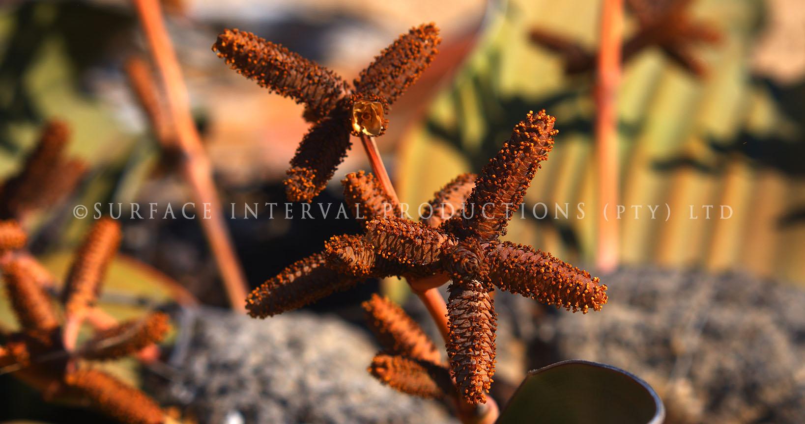 Welwitschia mirabilis 04.jpg
