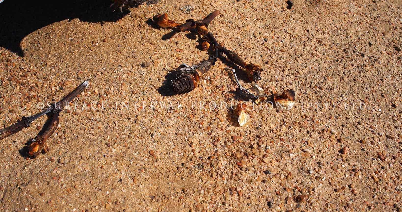 Welwitschia mirabilis 13.jpg