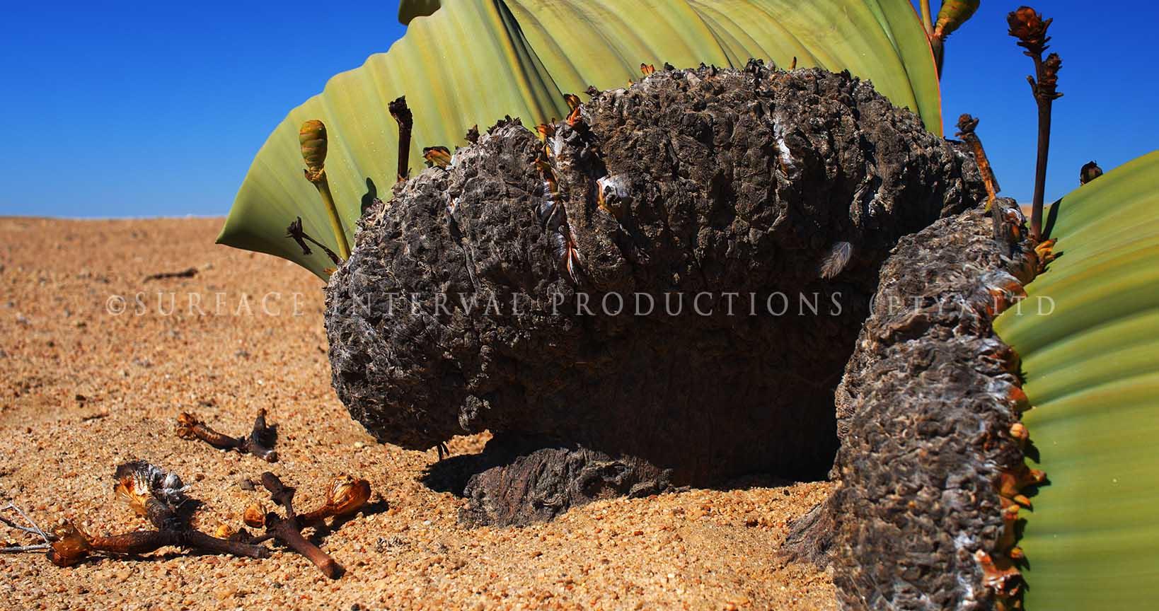 Welwitschia mirabilis 18.jpg