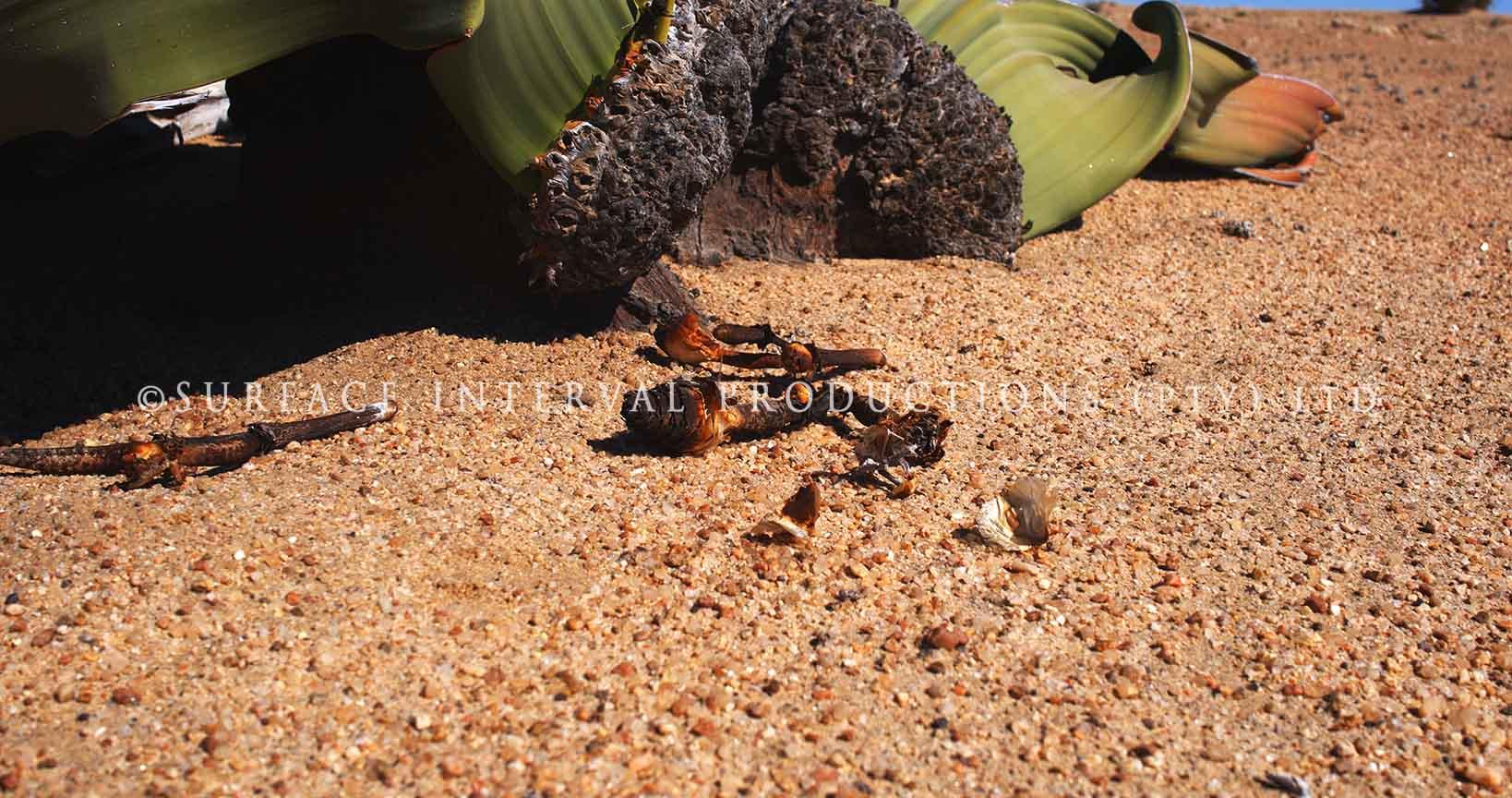 Welwitschia mirabilis 19.jpg