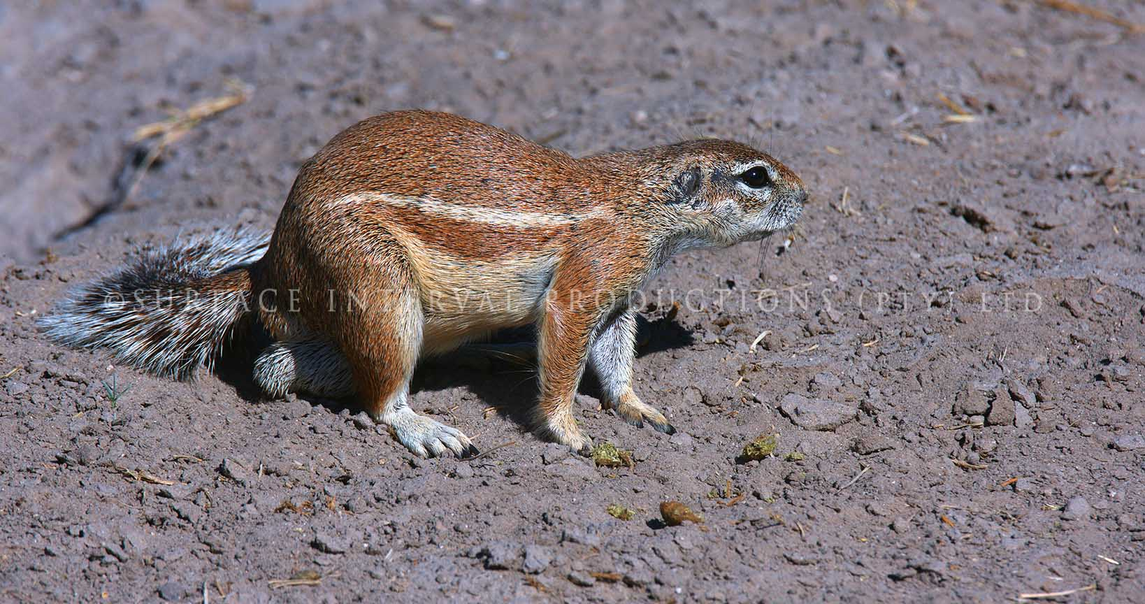Ground Squirrel 01.jpg