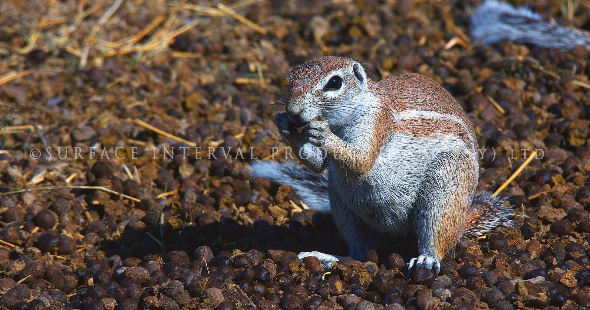 Ground Squirrel 02.jpg