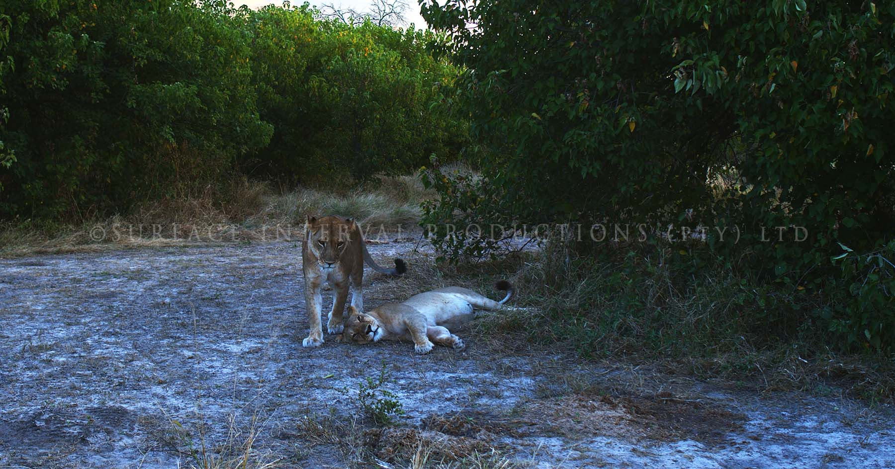 Lioness 04.jpg
