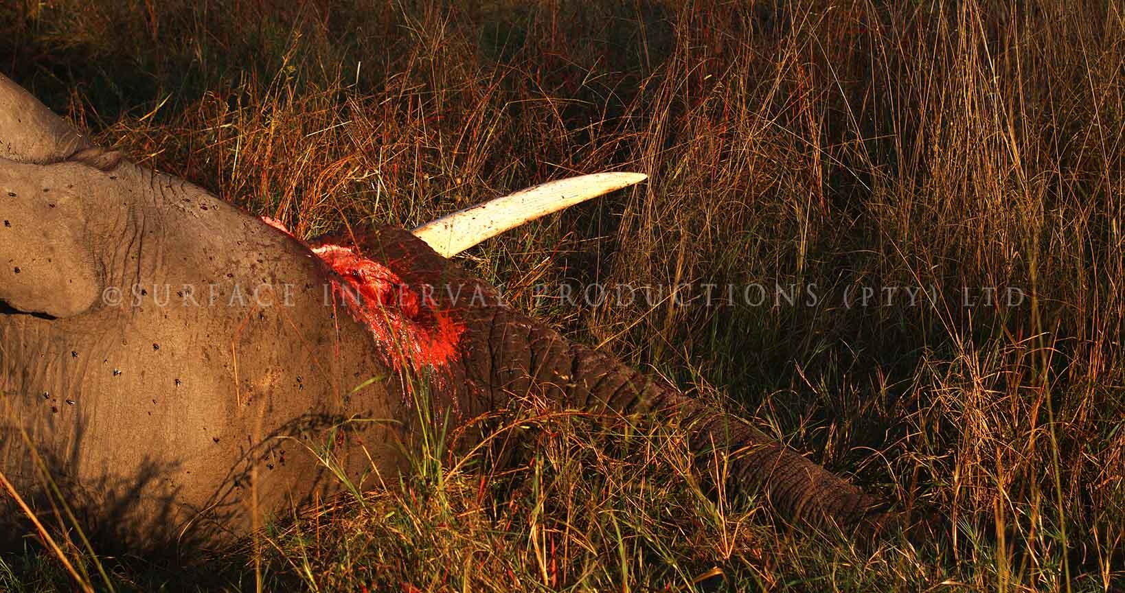 Elephant dead 01.jpg