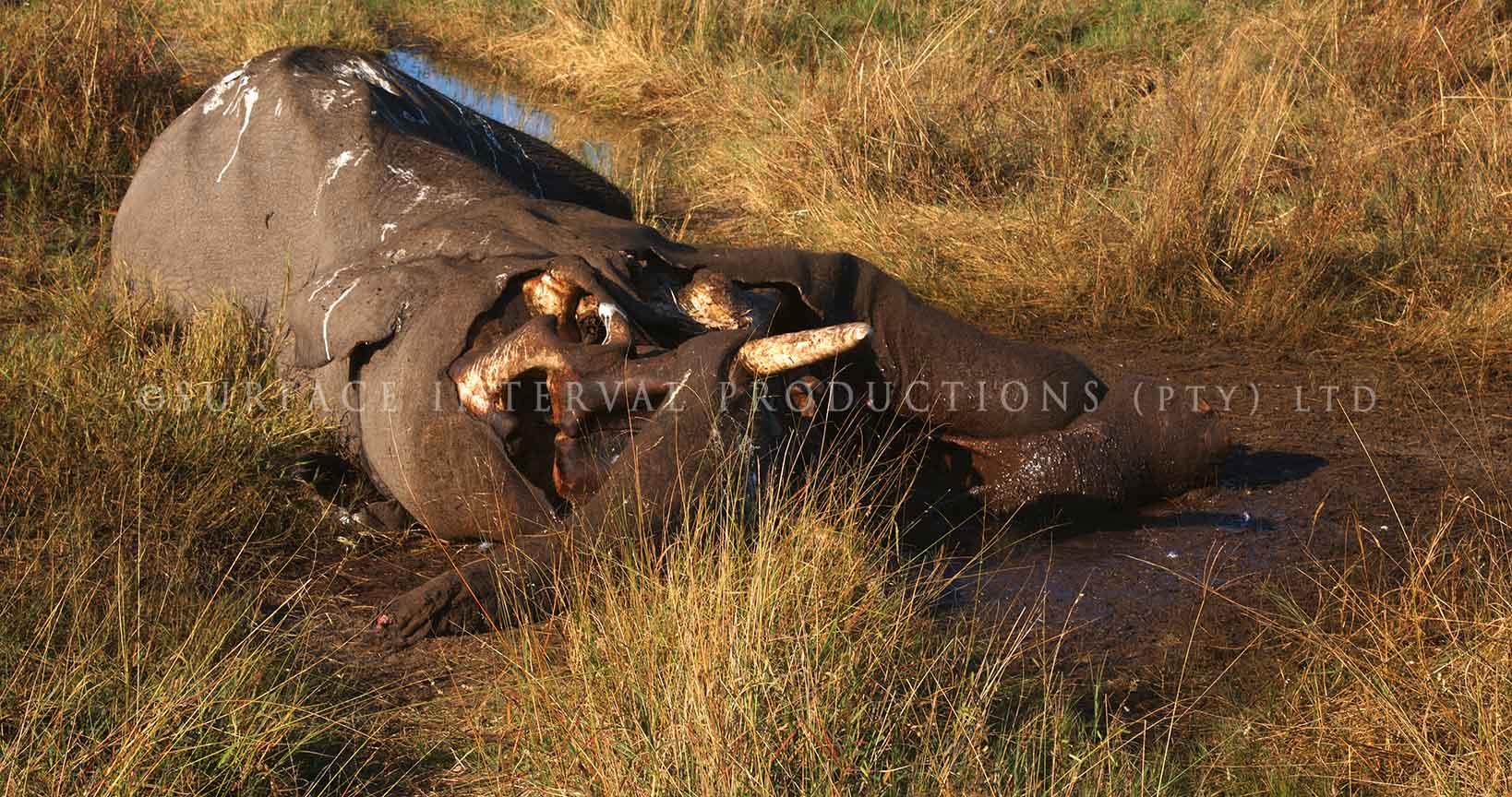 Elephant dead 02.jpg