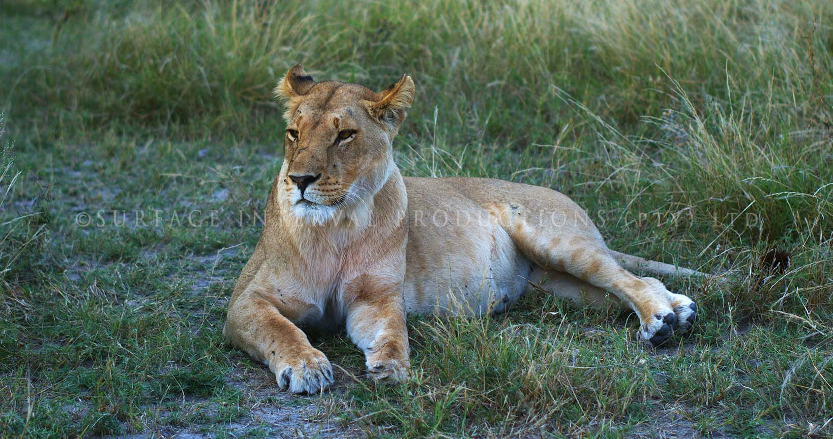 Lioness 03.jpg