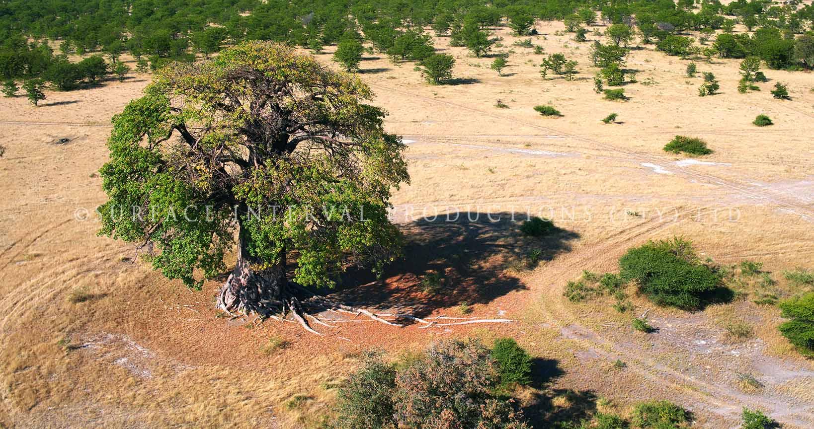 Baobab 10.jpg