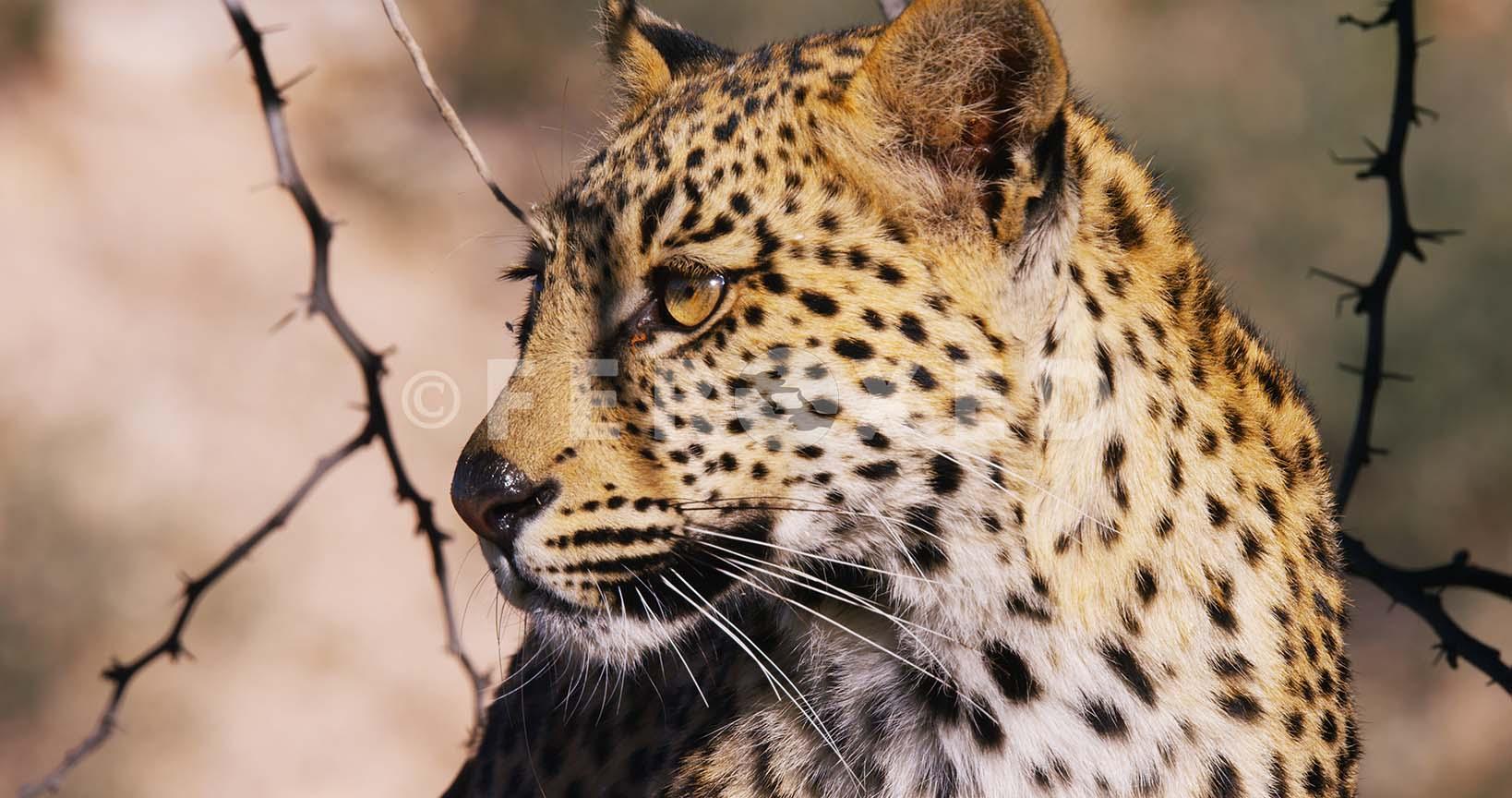 Leopard Kgahagadi 2018_1.43.1.jpg