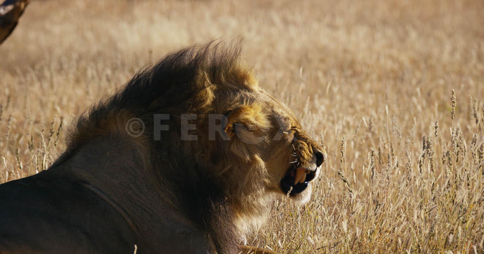 Lion Kgahagadi 2018 b_1.16.1.jpg
