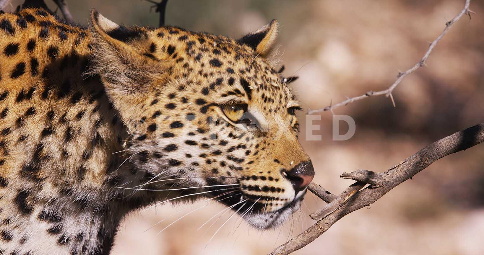 Leopard Kgahagadi 2018_1.42.1.jpg