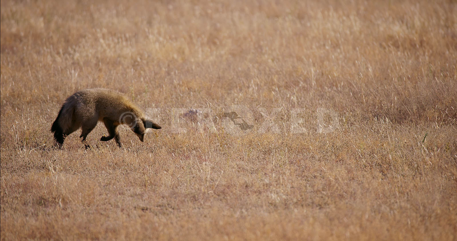 Bat Eared Fox Kgahagadi 2018 b_1.302.1.jpg