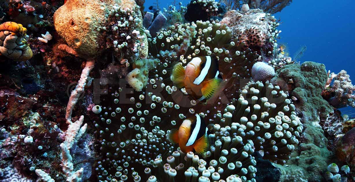 Clownfish 01.jpg