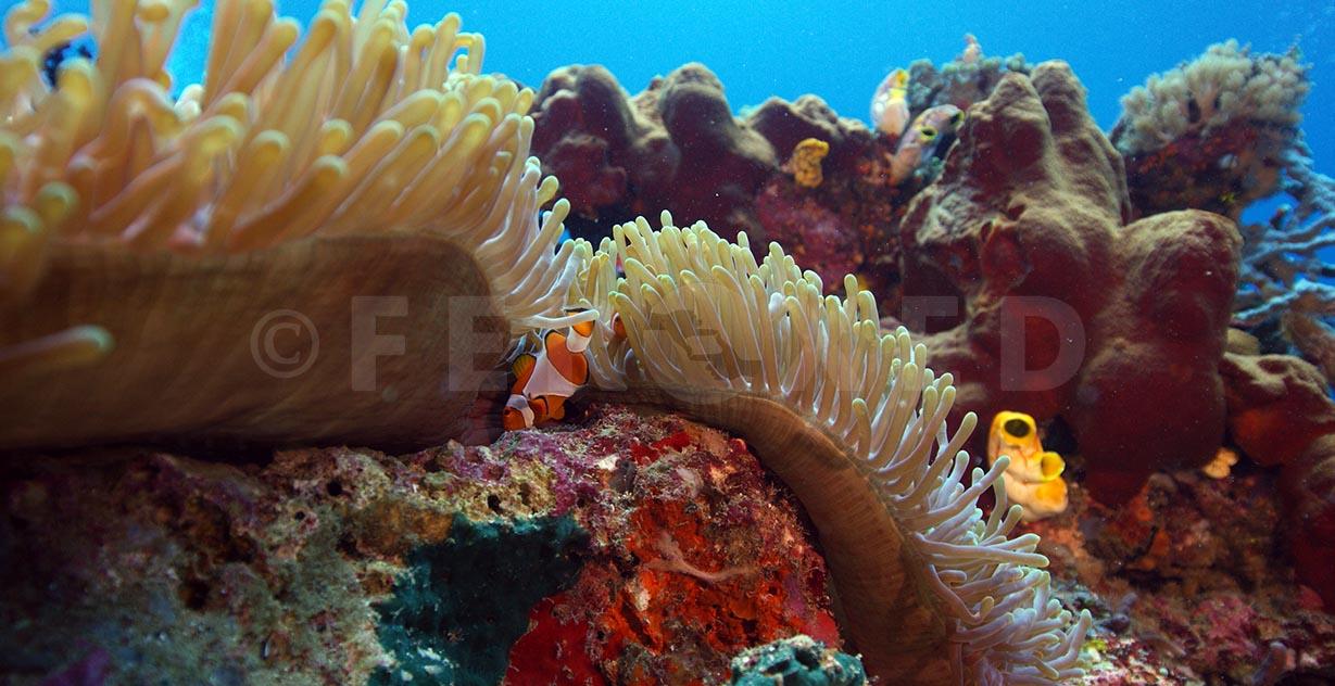 Clownfish 08.jpg